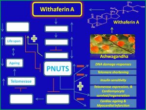 Withaferin A induces PNUTS expression