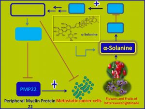 aSolanine inhibits PMP22 expression