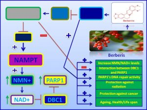 berberine increases NAD levels and delays ageing