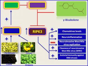 γ-Bisabolene induces RIPK3 expression and inhibits WNV production