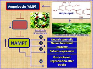 Ampeolpsin increases NAMPT expression and attenuate stroke