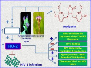 Arctigenin inhibits HIV production
