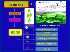 Asiatic acid increases BDNF expressin and attenuates stroke
