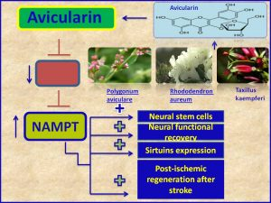 Avicularin increases NAMPT expression and promotes neural recovery after stroke
