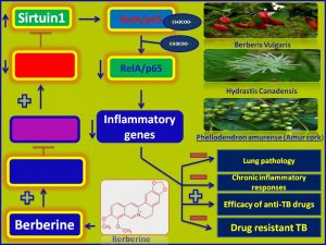 Berberine increases the efficacy of anti-TB therapy