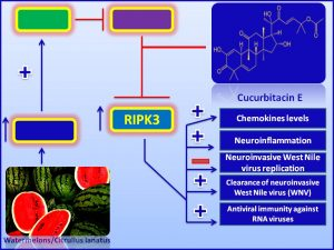 Cucurbitacin E increases RIPK3 expression and inhibits the pathogenesis of WNV