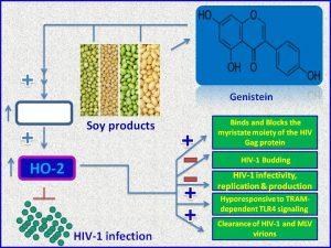 Genistein inhibits HIV1 production