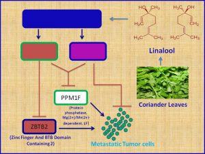Linalool inhibits the expression of metastatic promoter genes and prevents metastatic progression