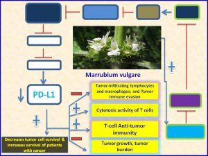 Marrubium vulgare extract inhibits PDL1 expression and promotes tumor regression