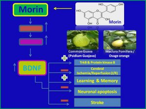 Morin induces BDNF and protects against stroke