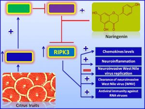Naringenen increases the expression of RIPK3 and inhibits WNV production