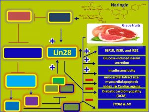 Naringin induces lin-28 and promotes insulin sensitivity