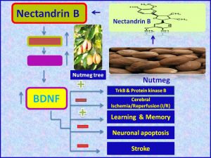 Nectandrin B induces BDNF and alleviates stroke