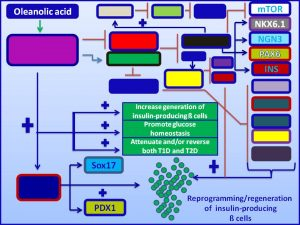 Oleanolic acid inducesexpression and promotes regenerationn of pancreatic cells
