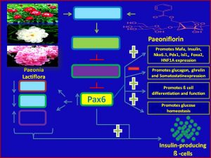 Paeoniflorin increases Pax6 expression and promotes insulin sensitivity