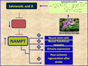 Salvianolic acid B protects against stroke via induction of NAMPT