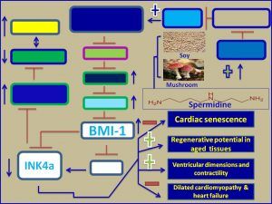 Spermidine induces BMI1 and inhibits INK4a expression