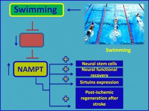 Swimming therpay increases NAMPT and protects against stroke