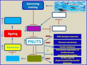 Swimming trainng increases PNUTS expressionn and prevents myocardial infarction
