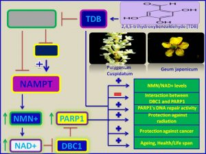 TDP increases NMN and NAD leves and protects against radiation, ageing and cancer