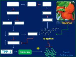 Tangeritin inhibits TPP1 and telomerase expression