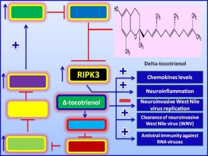 nhibits WNV production via induction of RIPK3