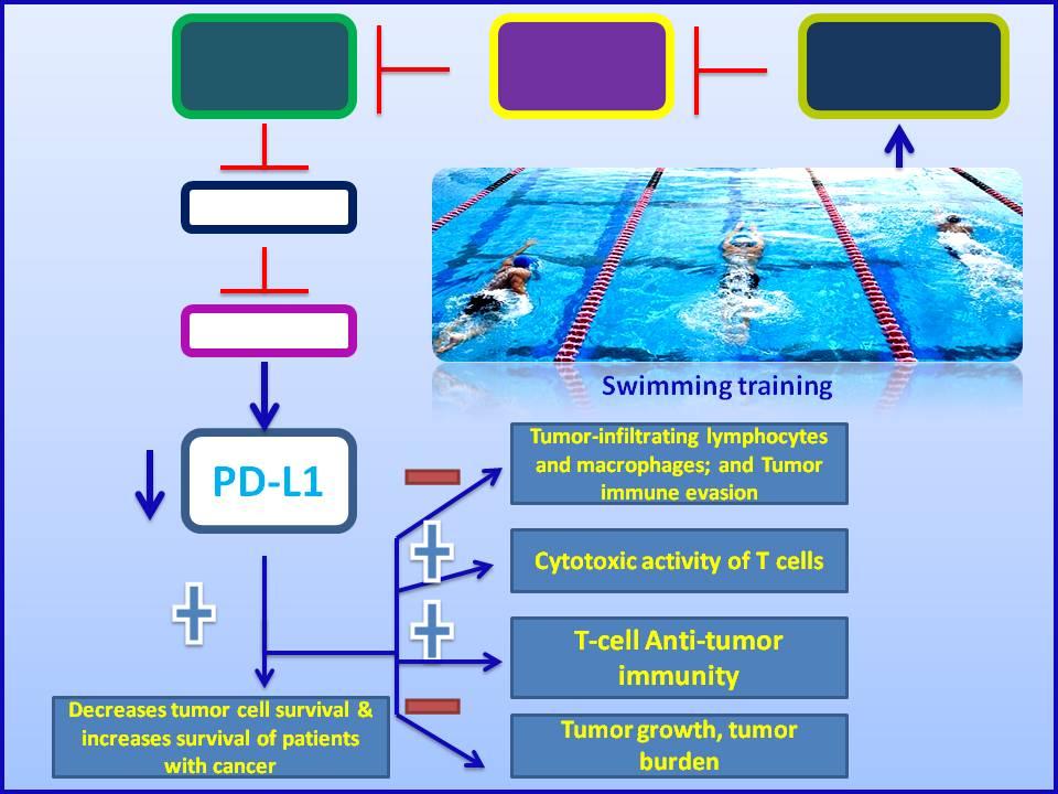 Swimming training-based PD-L1 pathway blockade enhances the efficacy