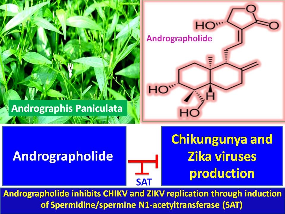 andrographis paniculata research paper In this paper, the antifungal activity of methanol extract of a paniculata and andrographolide (figure 1) is being reported 2 materials and methods 21 plant material the aerial parts of a paniculata which were collected from the experimental farm of indian institute of horticultural research (iihr),.