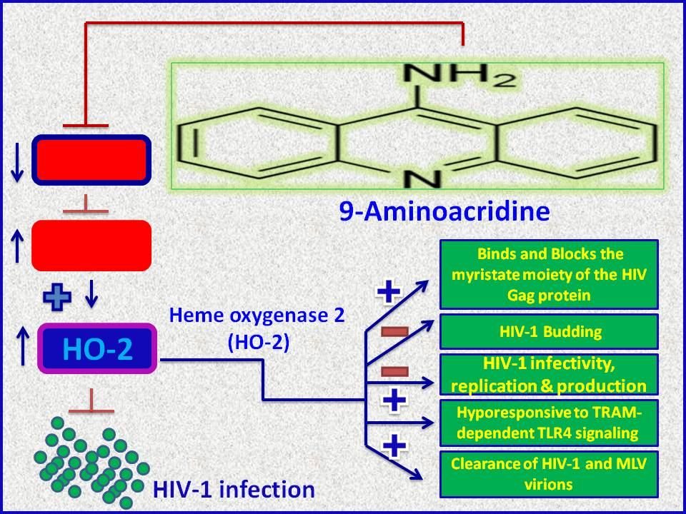 Antiviral Therapy For HIV Virus 9 Aminoacridine Increases Heme Oxygenase 2 HO Expression Blocks N Myristoylation Of 1 Gag Protein Disrupts