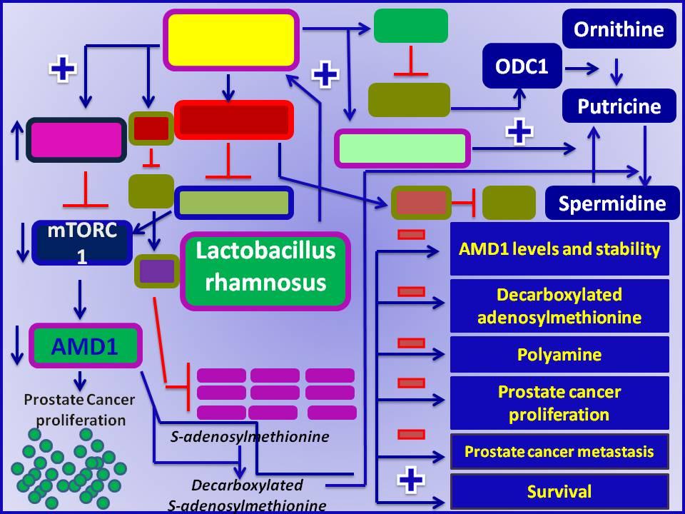 lactobacillus prostate
