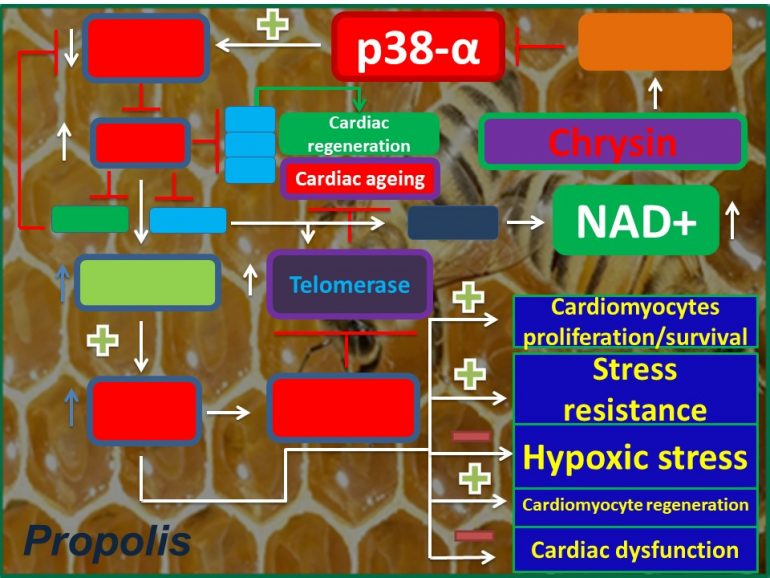 Figure 1. Mechanistic insights into how Chrysin protects against cardiac dysfunction. Chrysin, by regulating the expression of its target gene, it inhibits the expression of p38alpha. Thereby, it increases NAD+ levels and promotes cardiomyocytes proliferation/surivival/regeneration.