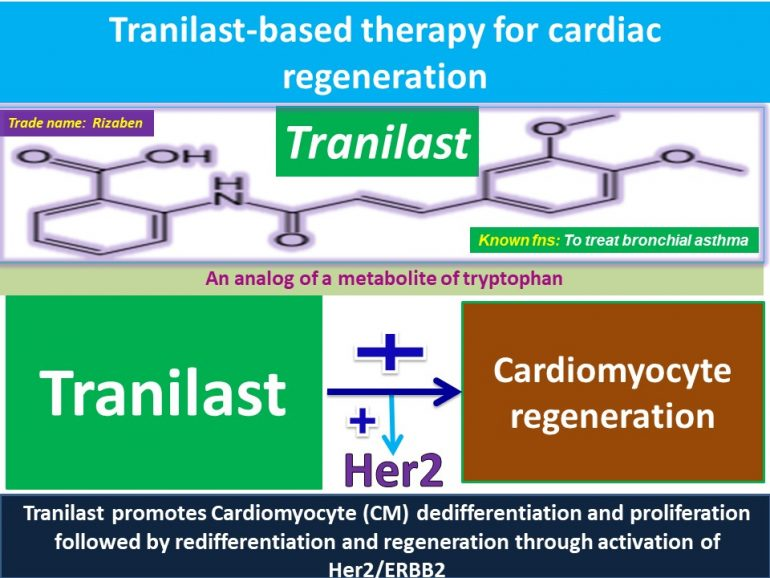 This image has an empty alt attribute; its file name is Tranilast-promotes-Cardiomyocyte-dedifferentiation-and-proliferation-through-activation-of-Her2-770x578.jpg