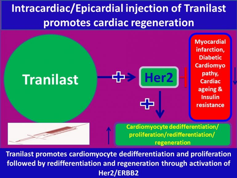 This image has an empty alt attribute; its file name is Tranilast-promotes-Cardiomyocyte-dedifferentiation-and-proliferation-through-activation-of-Her3-770x578.jpg
