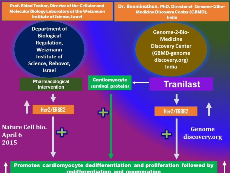 This image has an empty alt attribute; its file name is Tranilast-promotes-Cardiomyocyte-dedifferentiation-and-proliferation-through-activation-of-Her4-770x578.jpg