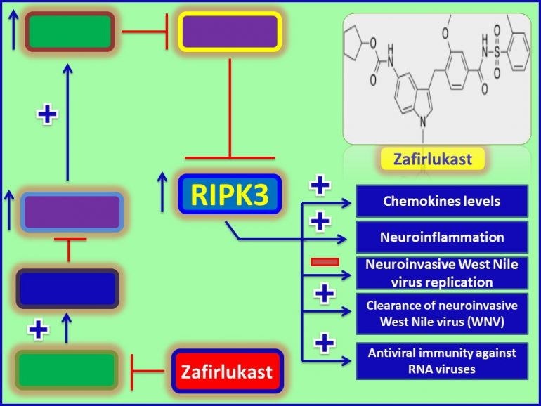 This image has an empty alt attribute; its file name is Zafirlukast-acts-as-an-antiviral-agent-against-West-Nile-virus-through-induction-of-RIPK3-770x578.jpg