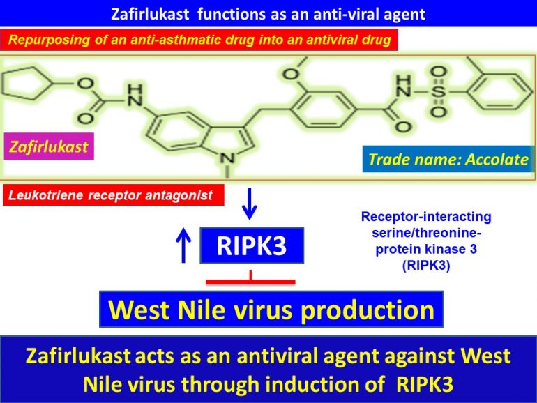 This image has an empty alt attribute; its file name is Zafirlukast-acts-as-an-antiviral-agent-against-West-Nile-virus-through-induction-of-RIPK32-770x578.jpg