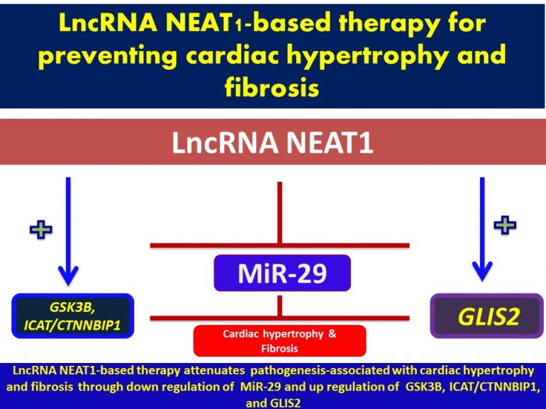 This image has an empty alt attribute; its file name is LnCRNA-NEAT1-Promotes-cardiac-repair-and-functional-recovery-after-myocardial-infarction-1.jpg2_-1-770x578.jpg