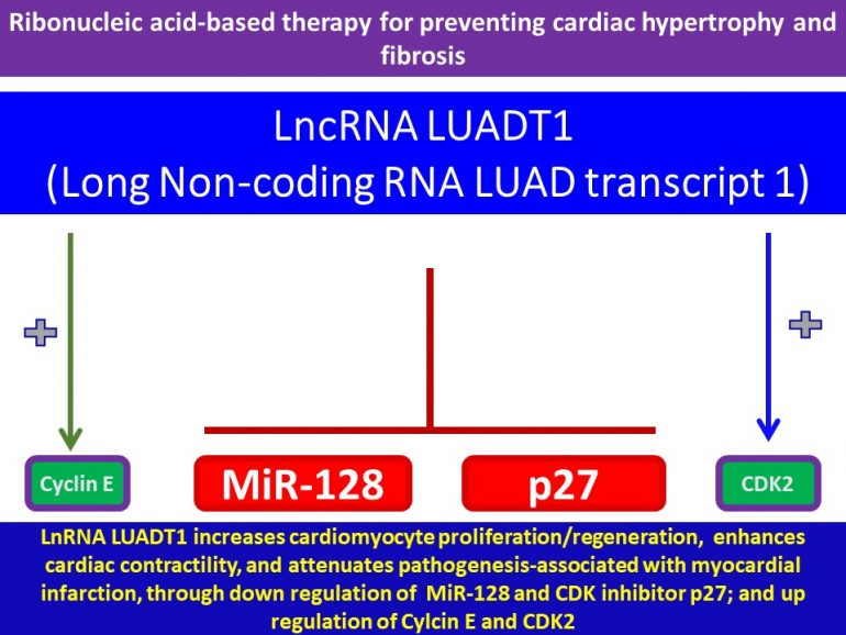 This image has an empty alt attribute; its file name is LncRNA-LAUDT1-Promotes-cardiac-proliferation.regeneration-enhances-cardiac-contractility-functional-recovery-after-myocardial-infarction2-770x578.jpg